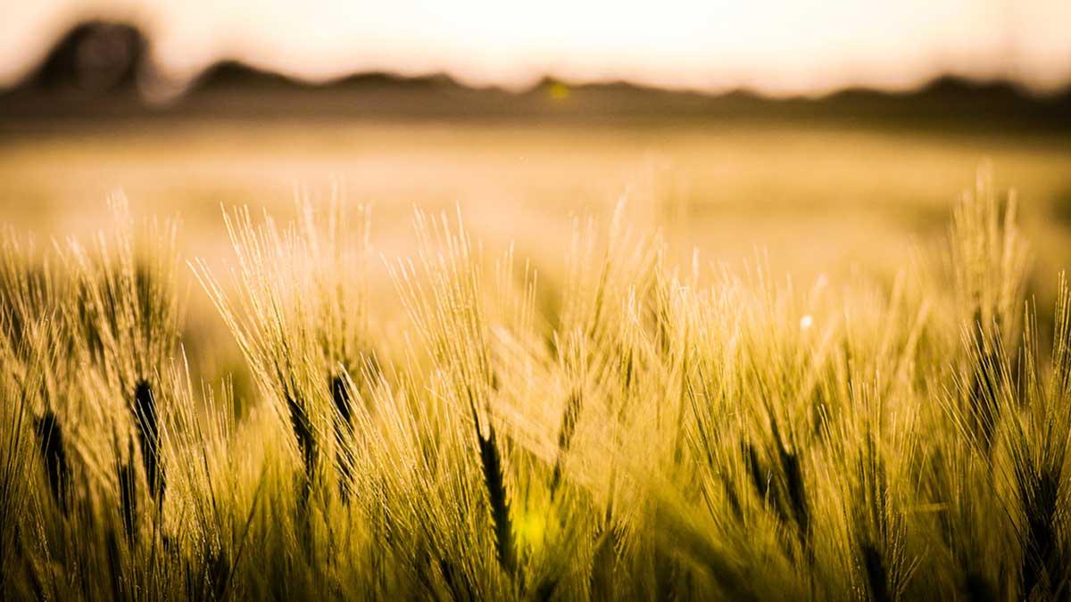 Hohenheimer Wissenschaftler*innen suchen nach Getreidesorten, die dem Klimawandel trotzen und nach neuen Wegen, um die Backqualität zu bemessen.