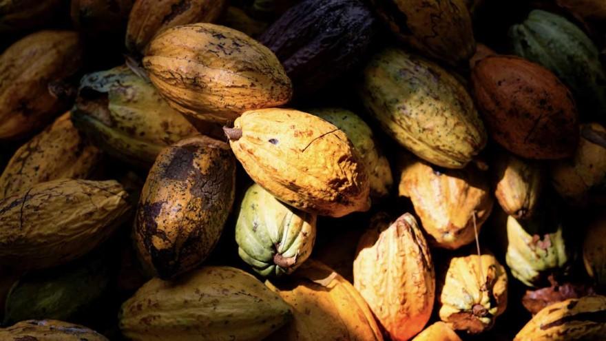 cacao beans ©tonyschocolonely