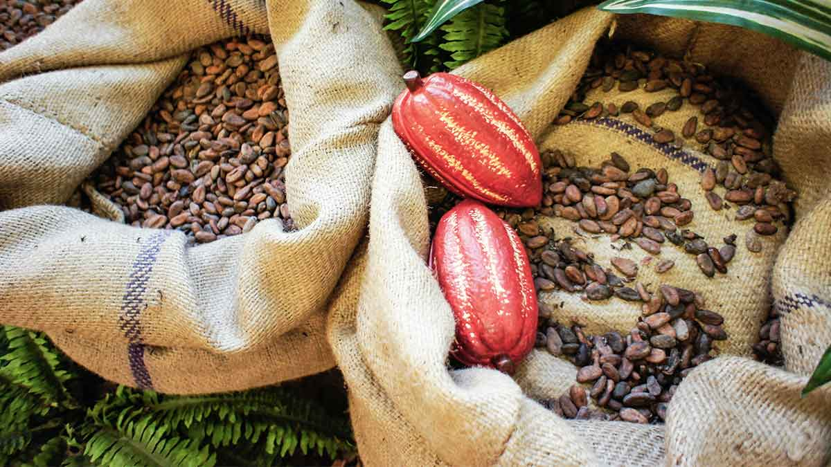 Organic cocoa: Sustainable sweet enjoyment